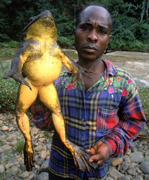 Самая большая лягушка Голиаф 3,66 кг.