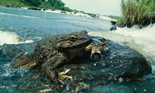 Самая большая в мире лягушка-голиаф отдыхает на камнях в реке
