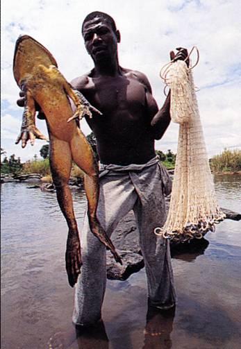 Самая большая в мире лягушка-голиаф поймана для продажи в США