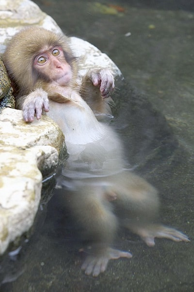 фото обезьяны нежащейся в спа